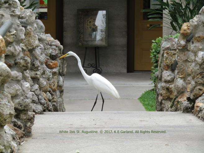 white_ibis_st_augustine.jpg